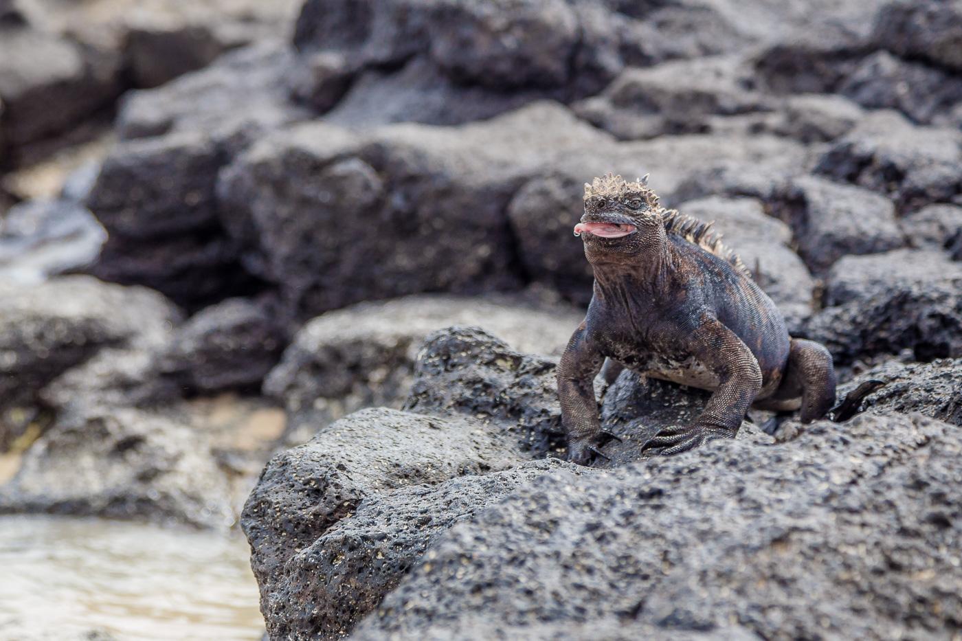 Marine Iguana, Isla Santa Cruz, Galapagos