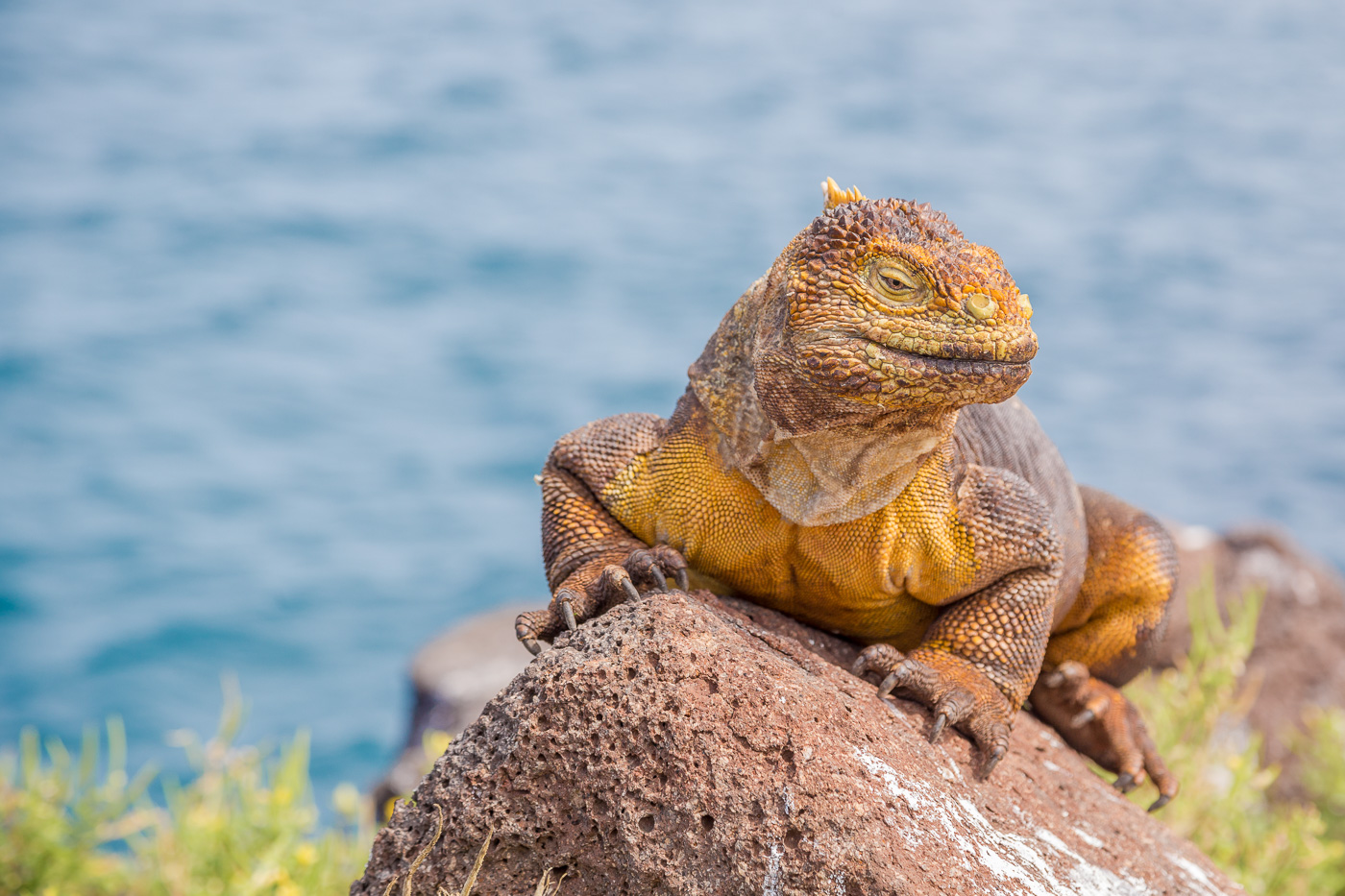 Land Iguana, Isla Seymore Norte, Galapagos
