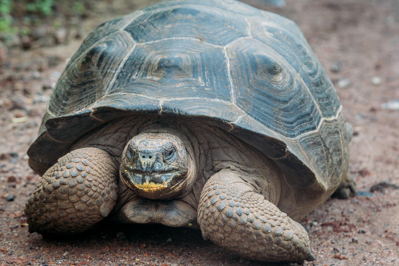 Giant Tortoise, Isla Isabela, Galapagos