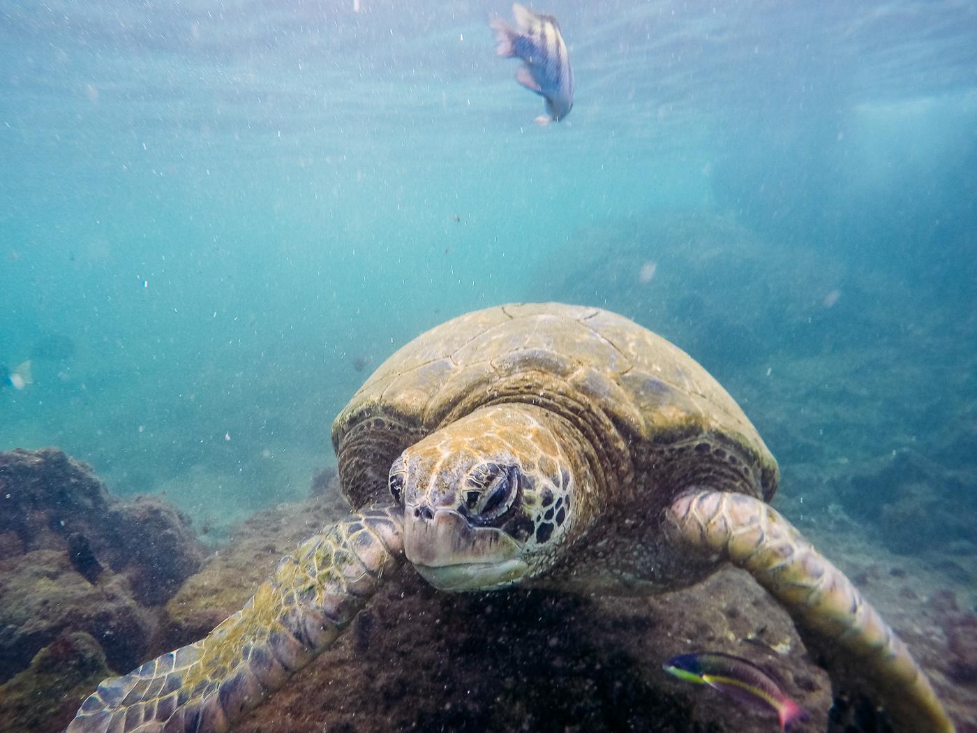 Sea Turtles, Los Tuneles, Peurto Vilamil, Isla Isabela, Galapagos