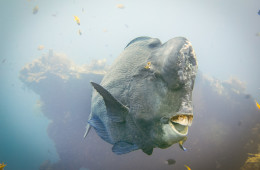 Watching the bumphead parrotfish move around the USAT Liberty was a highlight of the dive
