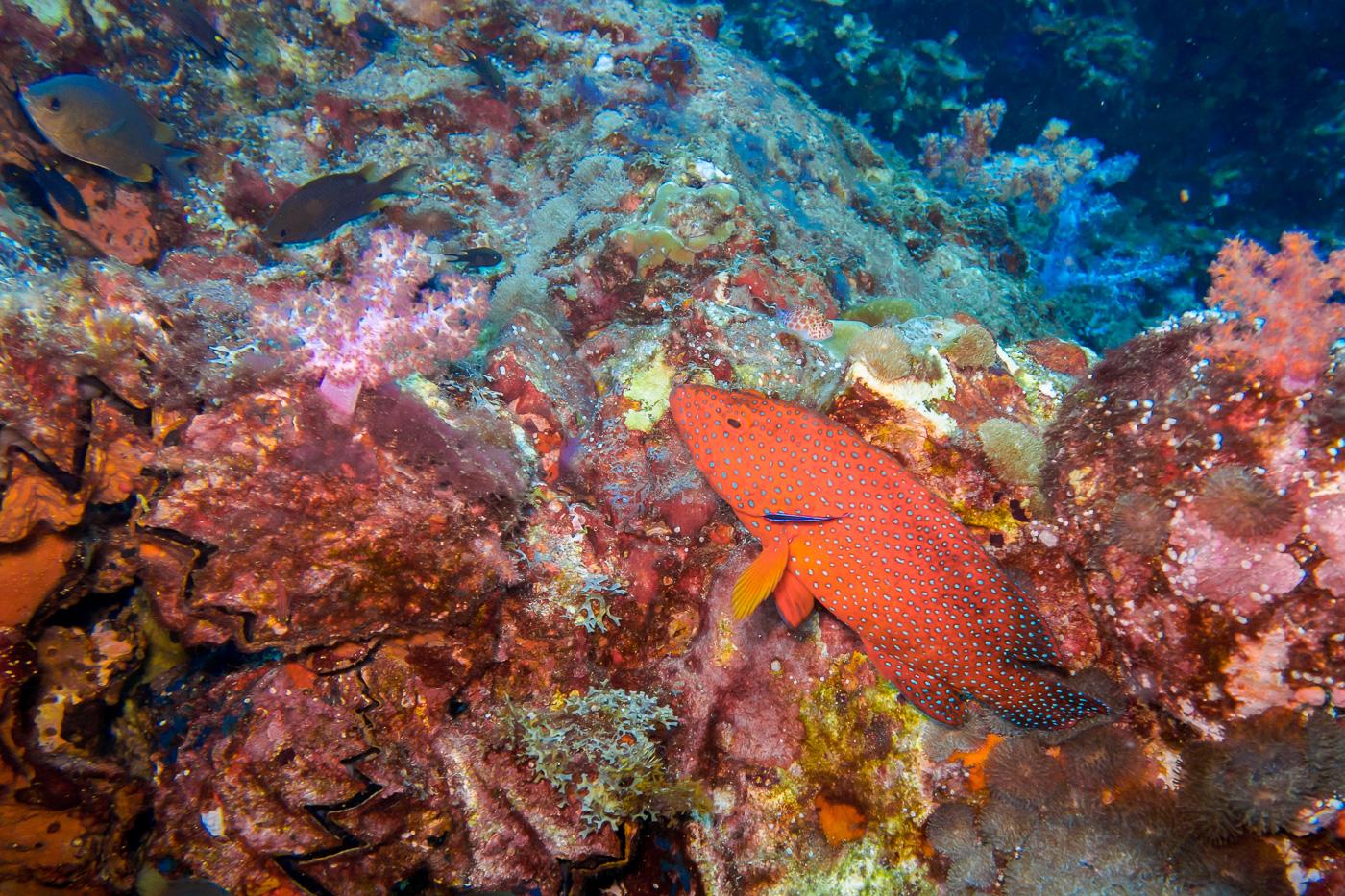 Red corals and fish at Hin Daeng while diving Koh Lanta Thailand