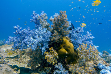 Soft purple corals of Hin Muang in the Andaman Sea