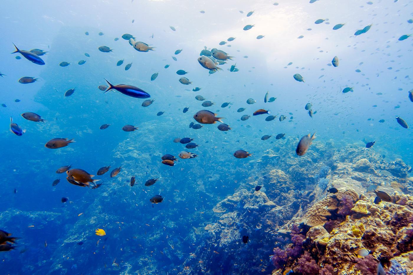 Enjoying fish schooling at Hin Muang in the Andaman Sea diving