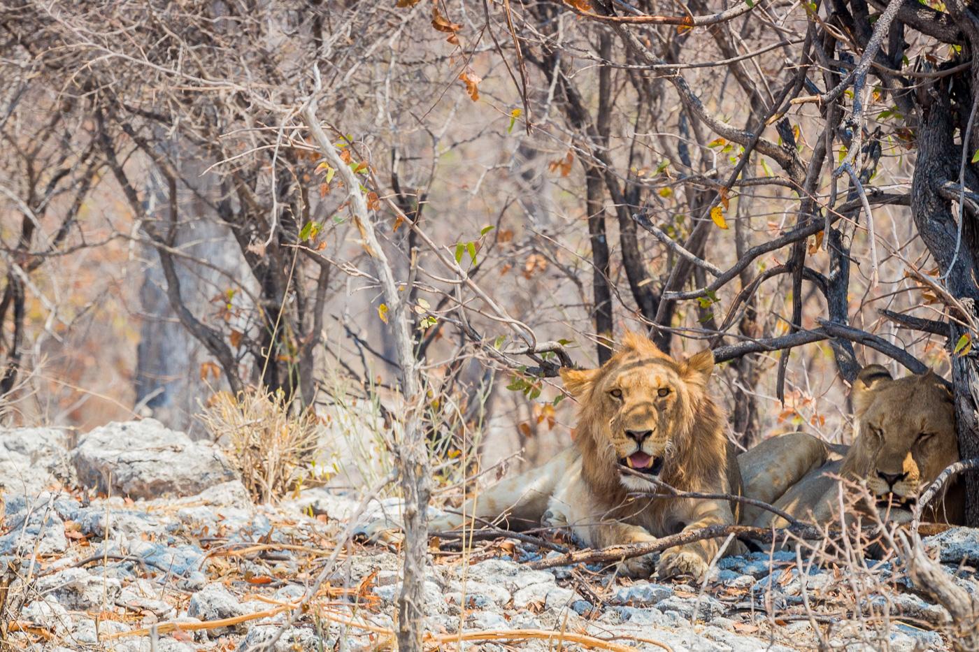Lions at Etosha Game Reserve Self Drive Namibia