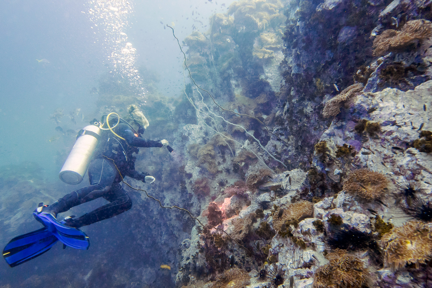 Koh tao diving highlight giant groupers anemonefish at southwest pinnacle bold travel - Koh tao dive sites ...