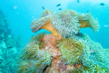 Admiring the colors of anemones at Southwest Pinnacle dive site in Koh Tao