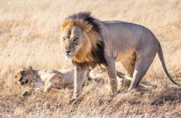 The mighty lions of Chobe National Park Savute